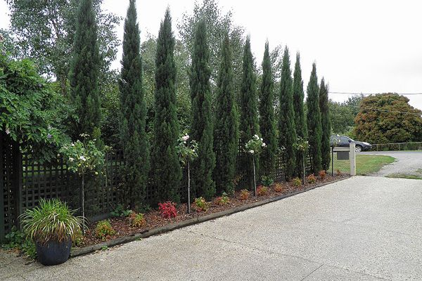Cupressus sempervirens Glauca - (Glauca Pencil Pine) - Din San Nursery Plant Database