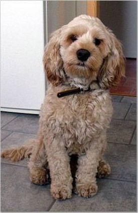 Spoodle or Cockapoo~ Cocker Spaniel & a miniature Poodle