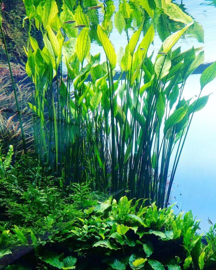 95 best freshwater aquarium plants images on pinterest for Freshwater pond plants
