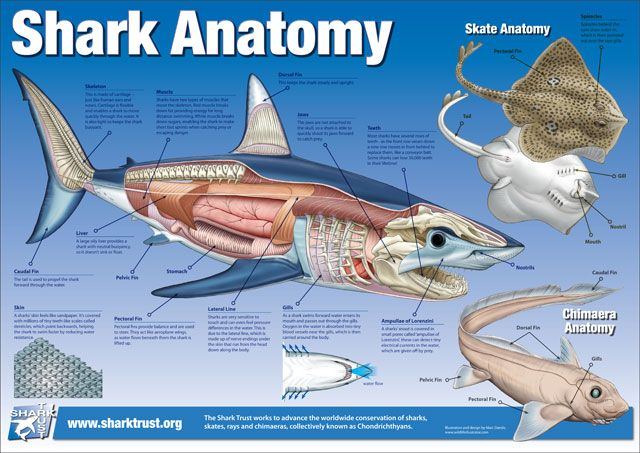 Shark reproductive anatomy