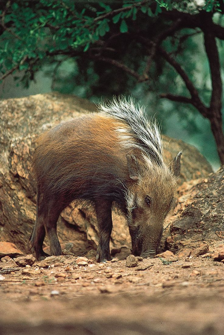 African Bush PigNot to be confused with the urban meaning of bush pig: An extremly ugly bitch with a face like a smashed crab