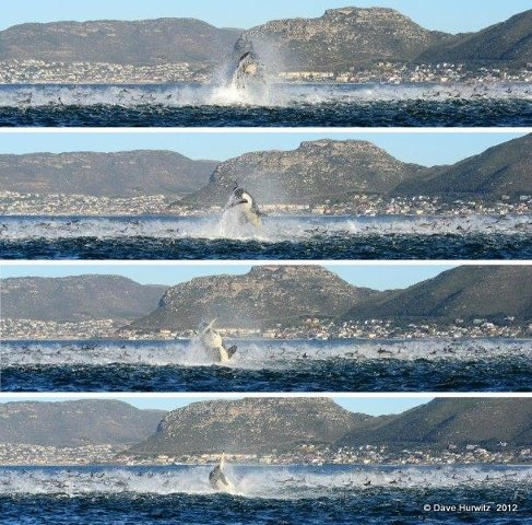 Killer whale among a school of dolphins