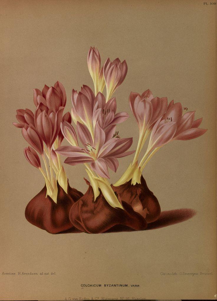 Colchicum byzantinum - circa 1881- Arentine H. Arendsen