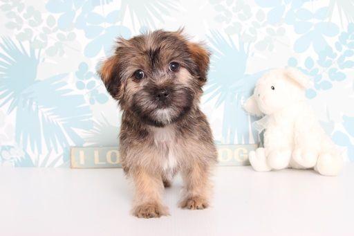 Shorkie Tzu puppy for sale in NAPLES, FL. ADN-66684 on PuppyFinder.com Gender: Male. Age: 10 Weeks Old