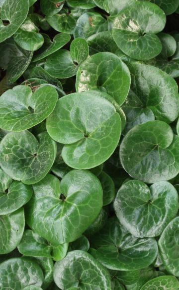 Die Haselwurz (Asarum europaeum) ist eine heimische Wildstaude mit nierenförmigen, dunkelgrün glänzenden Blättern und unauffälligen braunroten Blüten, die von März bis April erscheinen. Die nur zehn Zentimeter hohe wintergrüne Staude eignet sich sehr gut für ruhige, flächige Bepflanzungen im Halbschatten und Schatten unter Gehölzen. Die Haselwurz braucht einen humus- und nährstoffreichen, kalkhaltigen Boden. Sie verträgt vorübergehende Trockenheit, aber keine intensive Wintersonne. Eine…