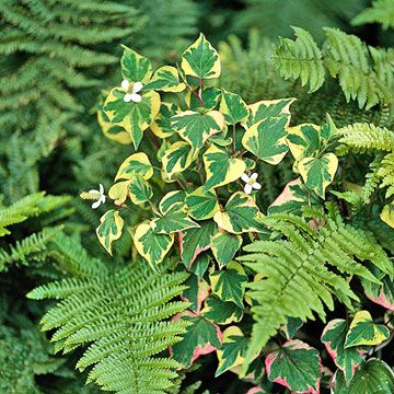 Chameleon plant Get detailed growing information on this plant and hundreds more in BHG's Plant Encyclopedia.