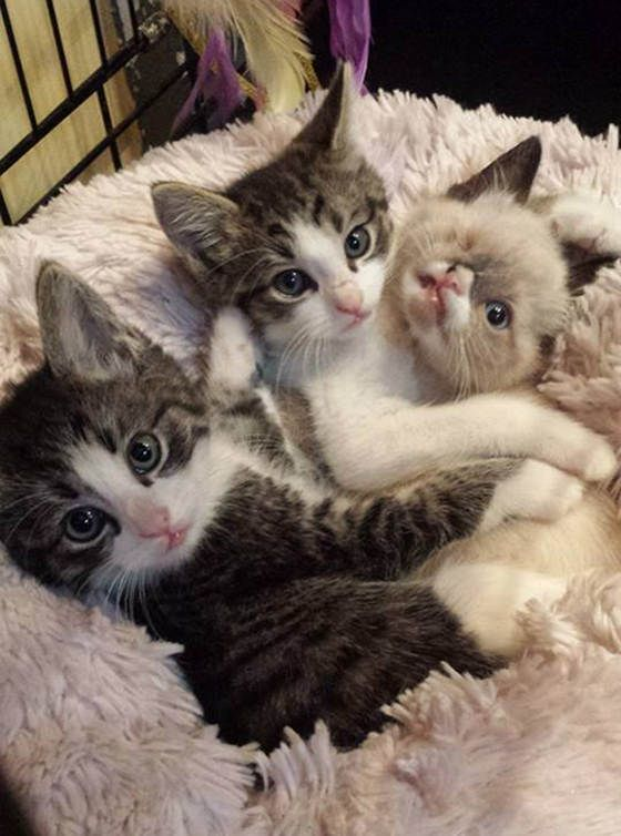 """Meet Sir Stuffington, an one eyed kitty who survived a raccoon attack and was saved by a kind person along with his 2 brothers. """"His feral litter was attacked by a raccoon, mom and one baby didn't make it,"""" said his foster mom. Read more at http://lovemeow.com/2013/09/sir-stuffington-kitten-a-raccoon-attack-survivor/#LUDlyKyzS1QPO0RU.99"""