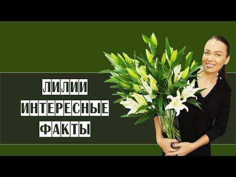 ЛИЛИИ // Интересные факты // Флористика - YouTube
