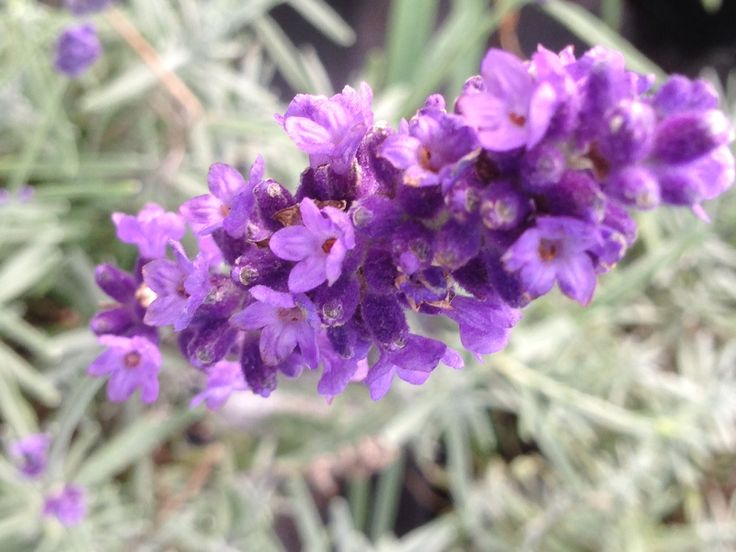 Lavender ideal for summer loverly for bees  And butterflies