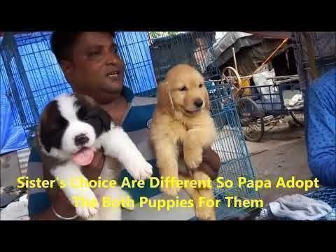 Labrador Retriever Puppies Hyderabad Best Quality St Bernard