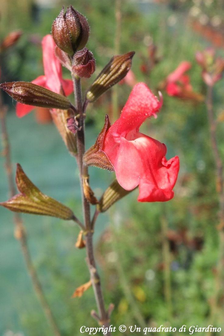 Salvia x jamensis 'Irene'