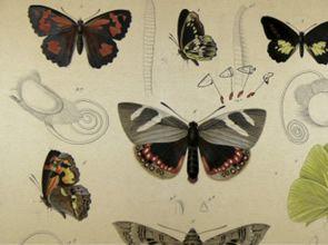 """MICRA - Mariposas chilenas, chilean butterflies, borboleta, chilean butterly. """"...página web para ampliar el alcance de la difusión de las investigaciones acerca de las mariposas: www.micra.cl"""""""