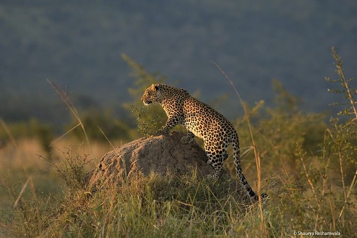 One of the entries received during the first week of our exciting new Wilderness Moments Photo Competition - Leopard on a Mound by Shaurya Reshamwala
