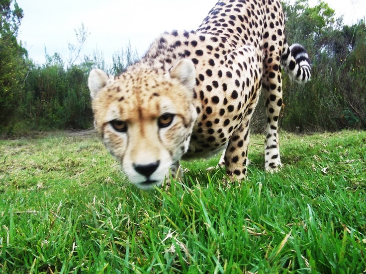 tenikwa wildlife awareness center (crags, s africa)