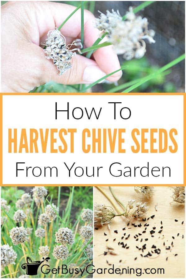 How To Harvest Collect Chive Seeds In Your Garden In 2021 Chive Seeds Chives Plant Growing Herbs At Home