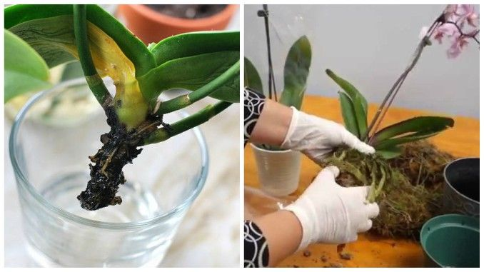 Orhideele sunt unele dintre cele mai vândute flori de ghiveci din țara noastră, și nu numai. Fie că ați cumpărat-o sau ați primit-o cadou trebuie să știți că orhideea nu este o plantă foa