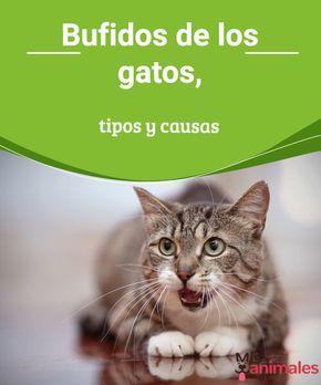 Bufidos de los gatos, tipos y causas  Los bufidos de los gatos así como otros sonidos y movimientos siempre quieren decir algo. Aprende a identificarlos para entenderte mejor con tu felino. #bufidos #felinos #causas #tipos