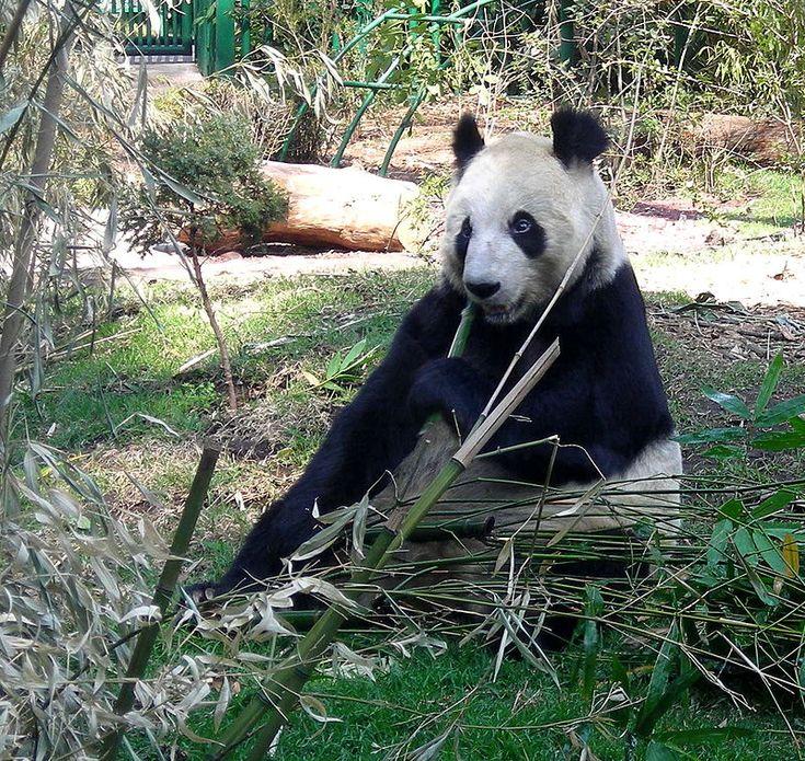 Este es el zoológico de Chapultepec. Está en la ciudad de México. Los animales son muy lindos aquí. Muchas personas les gustan ver las pandas.