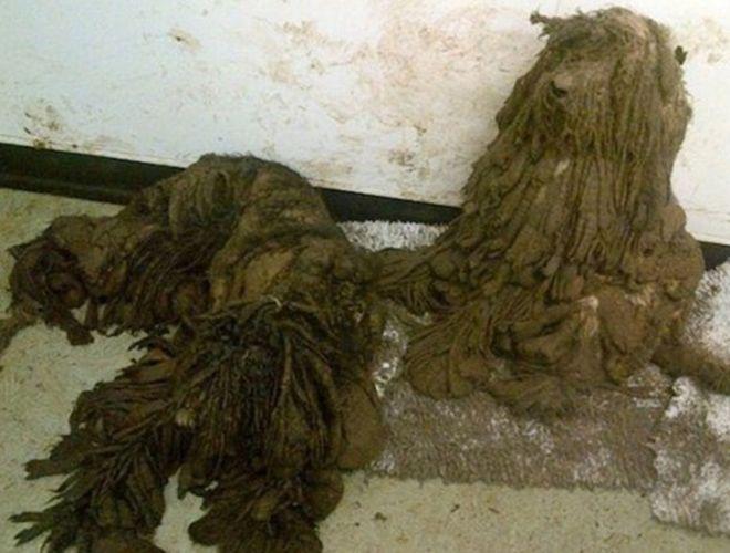 La RSPCA a découvert une chienne et ses 8 chiots dans un état lamentable. Regardez maintenant l'incroyable changement : http://www.yummypets.com/fun/article/51603-ces-chiens-ne-ressemblaient-meme-plus-a-des-chiens #chien #maltraitance #animaux #aide #RSPCA