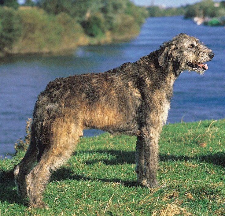 Irish Wolfhound    The breed is very old; there are suggestions it may have been brought to Ireland as early as 7000 BC.[8 These dogs are mentioned, as cú (variously translated as hound, Irish hound, war dog, wolf dog, etc.) in Irish laws and in Irish literature which dates from the 5th century or, in the case of the Sagas, from the old Irish period - AD 600-900.