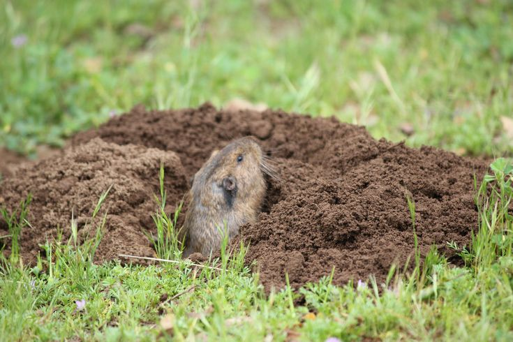 How to get rid of moles and gophers in your yard without