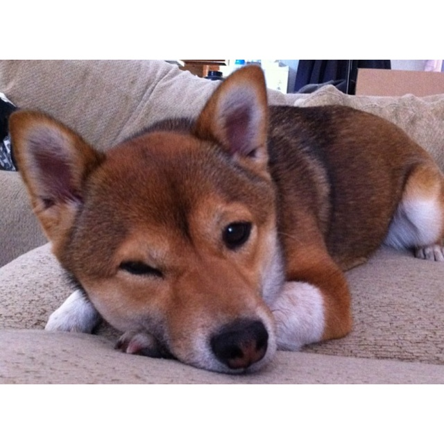 I want a Shiba SO BAD