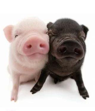 満面の笑みを浮かべる豚の赤ちゃん
