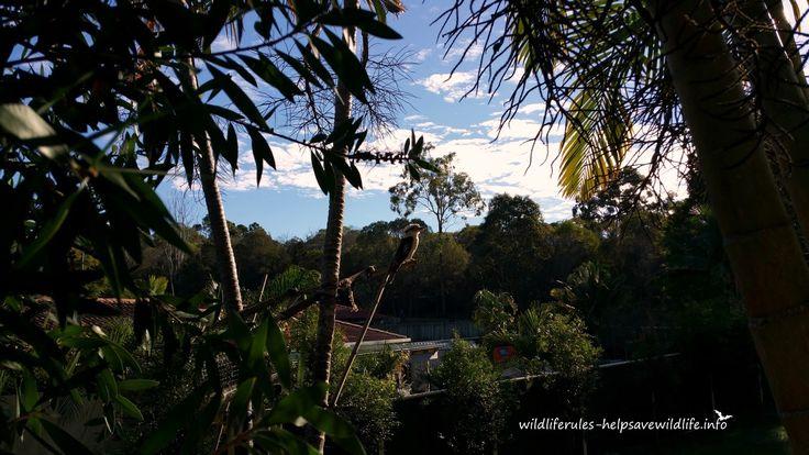 http://www.wildliferules-helpsavewildlife.info/2016/05/kooka-kookaburra-backyard-16052016.html Kooka from this morning. Checking out the sun rise then busy in the backyard hunting for food. #wildlife #wildliferules #kookaburra