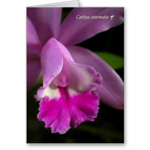 Cattleya Orchid Greeting Cards