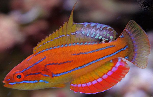 Clown Fairy Wrasse | AquaCorals - Saltwater WRASSE Fish For Sale