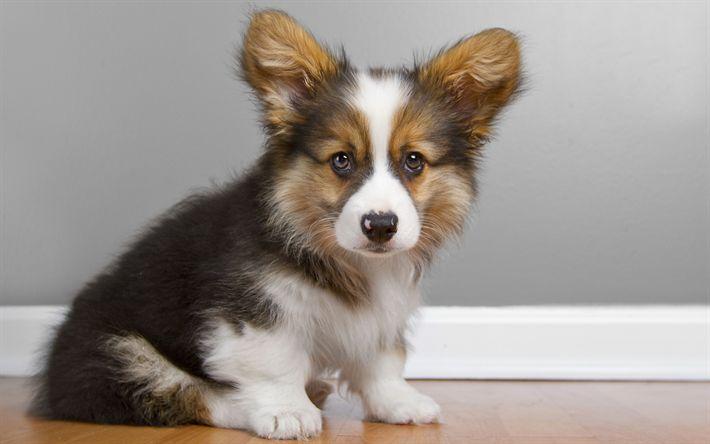 Download imagens Pembroke Welsh Corgi, animais fofos, filhote de cachorro, cachorros, welsh corgi