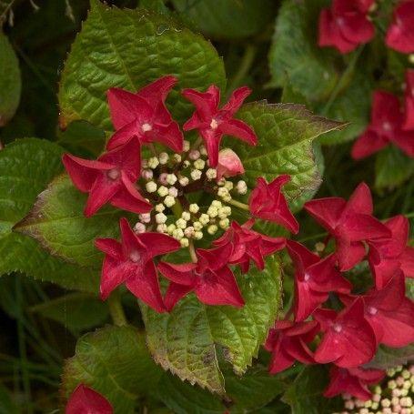 Hortensia Hydrangea Rotschwanz - RoyalPlant.ro