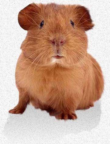 Baby Guinea Pig Care | Guinea Pigs As Pets