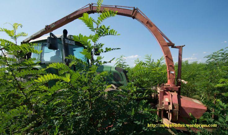 Recoltarea plantatiei energetice de salcam cu dispozitiv montat pe tractor.