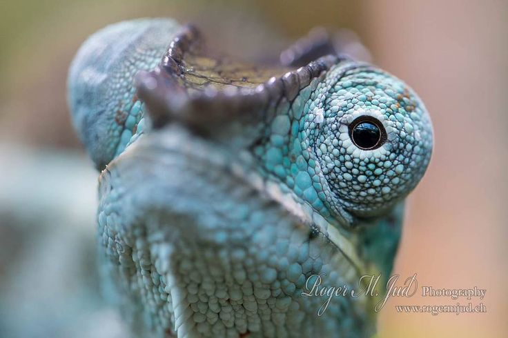 #chamäleon #pantherchamäleon #chameleon #pantherchameleon #furciferpardalis #animalphotography #reptiles #reptilesofig #reptilesofinstagram #chameleonsofig #chameleonsofinstagram @bbcearth @natgeowild @wildlife.hd @wildlife @wildlifeplanet @wildgeography @canonswitzerland  Gear used: Canon 70D, EF 100mm f2.8L Macro  I usually don't take home more than one or two pictures I really like when I go shooting at @zoozuerich. Last year I got an early birthday present: One day prior to my birthday…