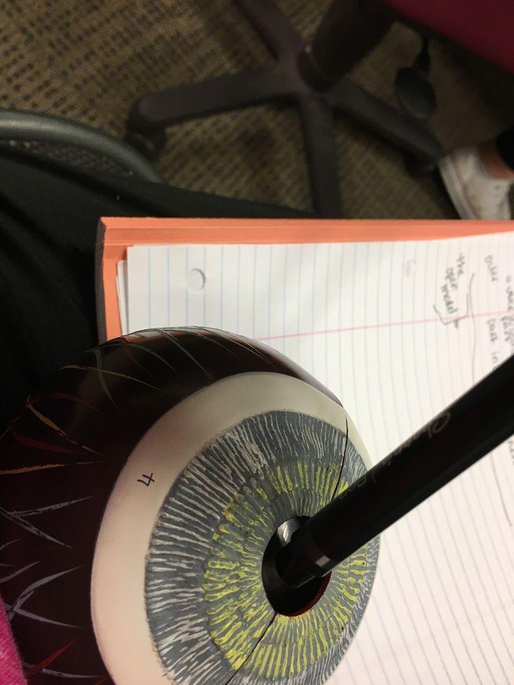 Eye lab | Physiology, Anatomy and physiology, Anatomy