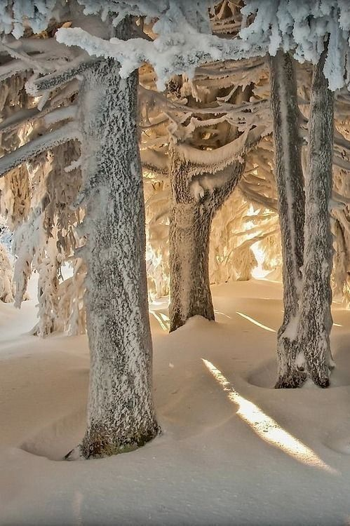 Beautiful snow covered trees in forest