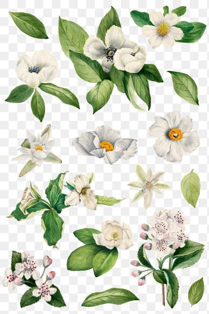 Hand Drawn White Flower Png Set Watercolor Illustration Free Image By Rawpixel Com Adj White Flower Png White Flowers Flower Illustration