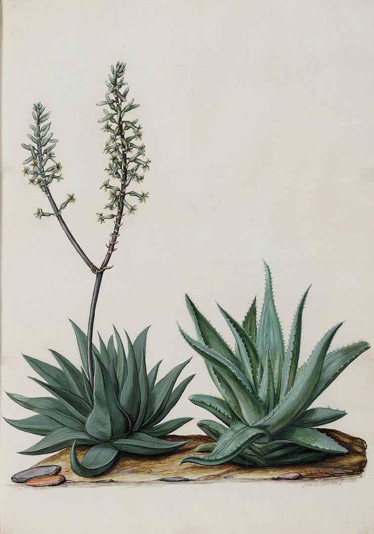Aloe glauca Miller, Moninckx, J., Moninckx atlas, vol. 3: t. 8 (1682-1709)