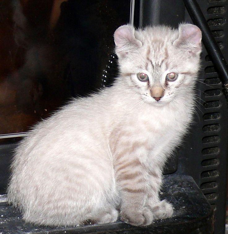 Highland lynx kitten - photo#2