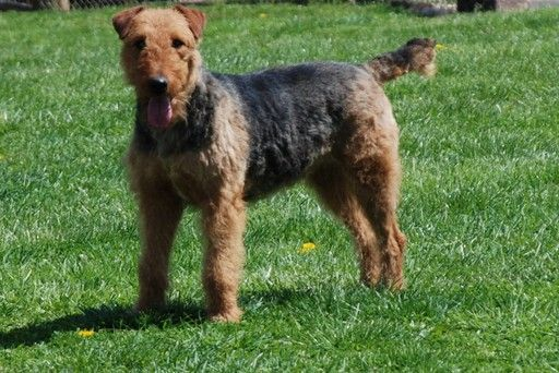 Airedale Dogs For Sale Mn