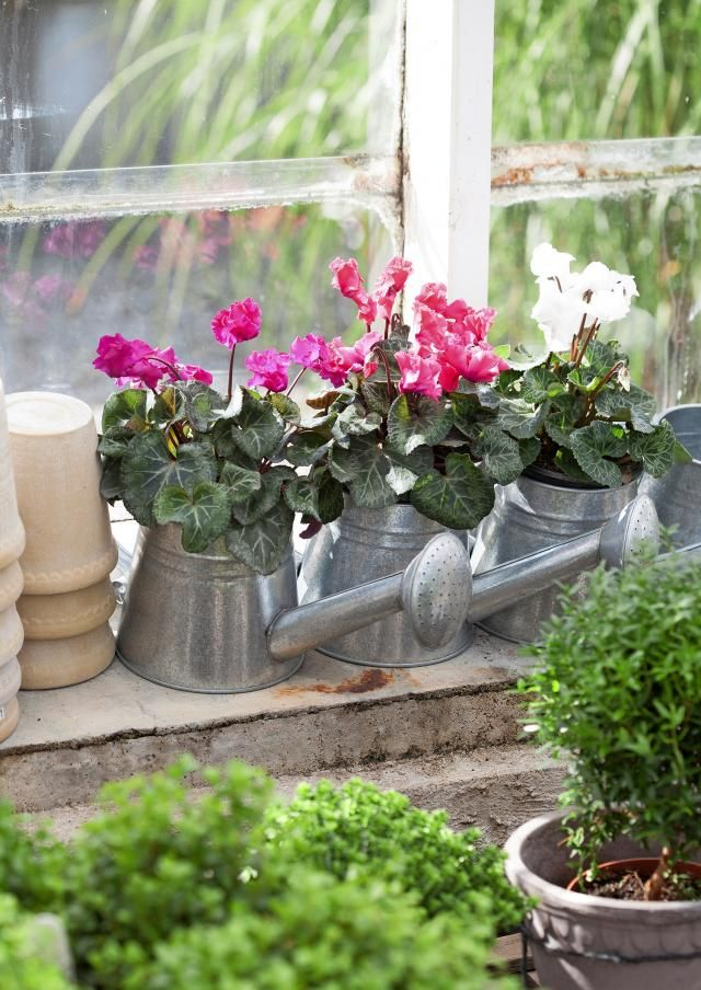 Syklaami on oikukas sisäkasvi, mutta viileä ulkoilma innostaa sen sinnikkääseen kukintaan. Kun istutat taimen hyvissä ajoin, se tottuu syyssäähän ja kylmänkesto paranee. Photo Minna Mercke Schmidt viherpiha.fi
