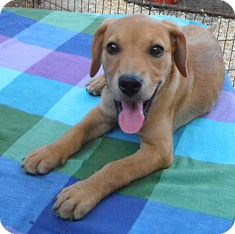 Hagerstown, MD - Beagle/Boxer Mix. Meet Winnie, a puppy for adoption. http://www.adoptapet.com/pet/18741980-hagerstown-maryland-beagle-mix