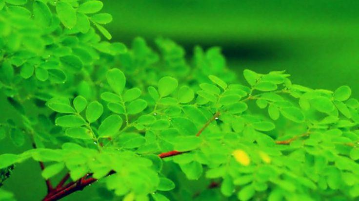 Planta moringa, onde encontrar ? A árvore moringa oleifera tem diversos benefícios para saúde. Consuma moringa cápsulas. Moringa, planta medicinal.