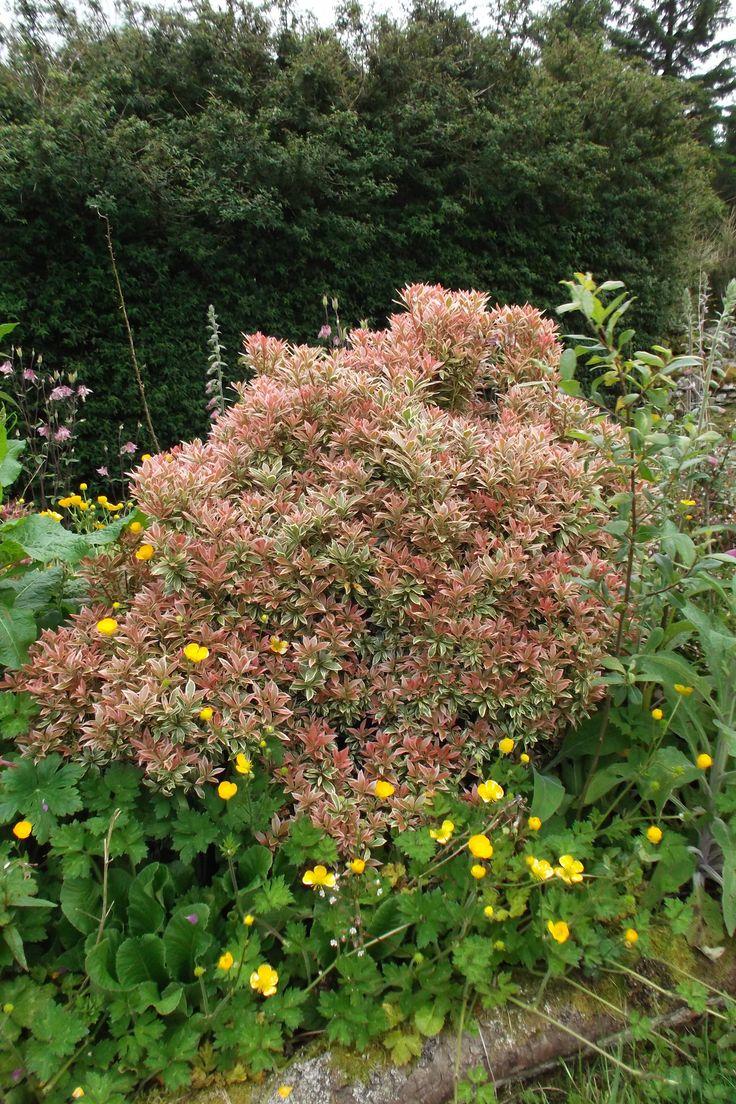 13 besten Ilex Stechpalmen ideale Heckenpflanzen für