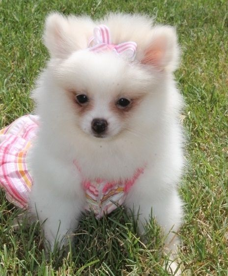 Pomeranian Puppies for Free Adoption | Image of affectionate charming pomeranian puppies for adoption
