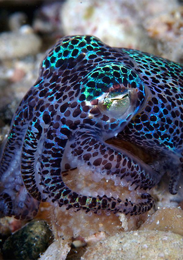 Cuttle fish in a lovely blue and black coat. Do cuttlefish have coats? I guess they have skins.