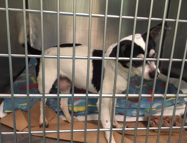 **BLIND** **MAMMARY GLAND TUMOR* SUPER URGENT SOL – A1109655 A private donor has graciously offered to pay $200 to the New Hope partner that pulls FEMALE, WHITE / BLACK, CHIHUAHUA SH MIX, 12 yrs STRAY