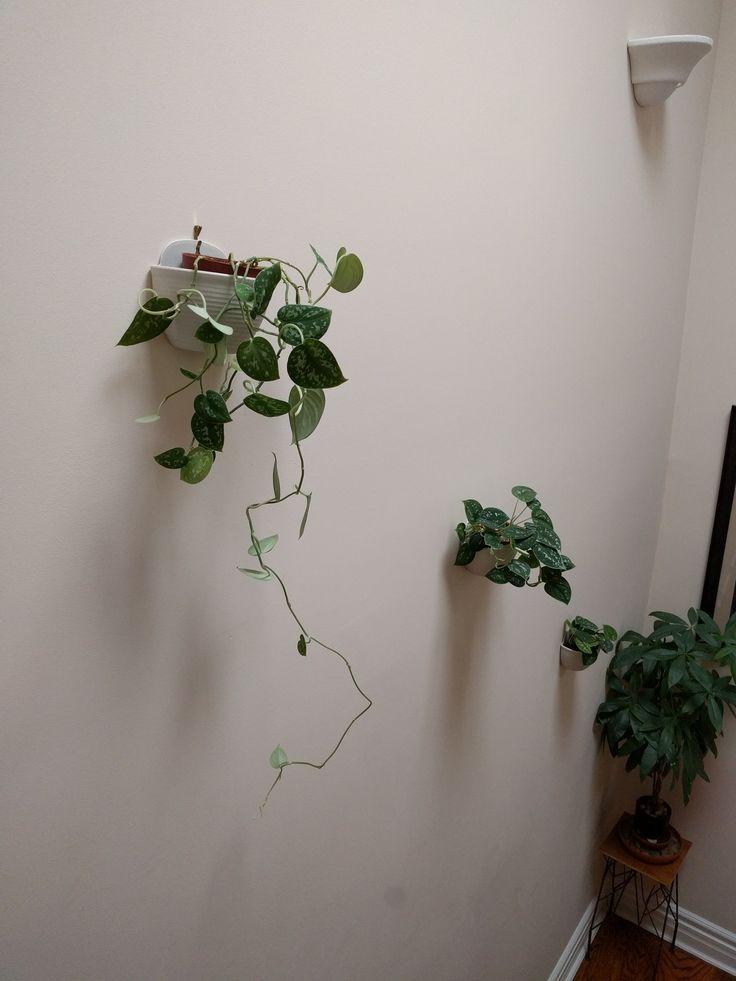 17 best ideas about pothos vine on pinterest epipremnum pinnatum indoor house plants and - House plants vines ...