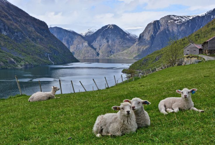 Sheep farming is also a part of life in Aurland